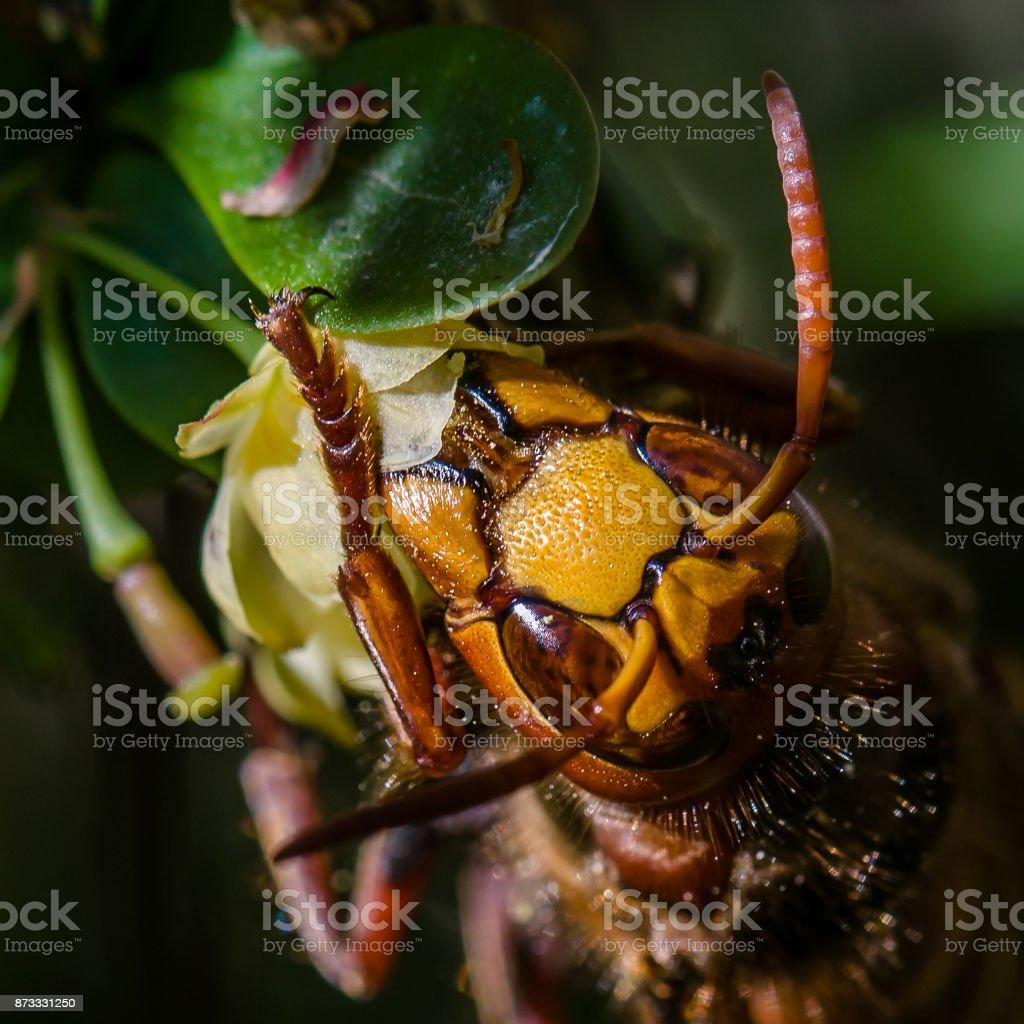 European hornet stock photo