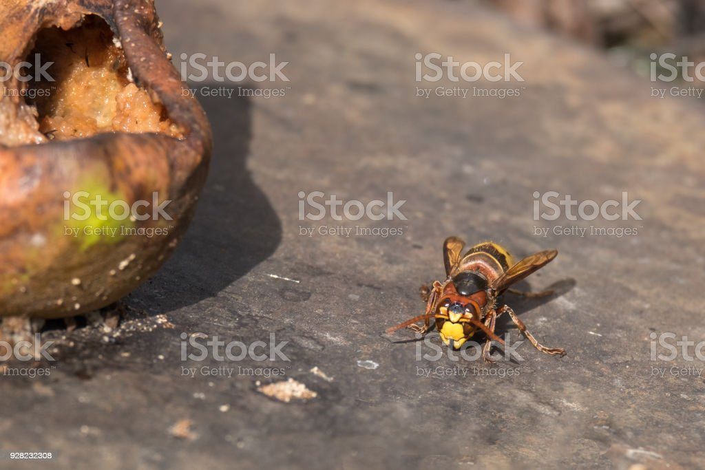 European Hornet (Vespa Crabro) Sitting On Old Weathered Surface Near Rotten Pear. Summer Day. Selective Focus. stock photo