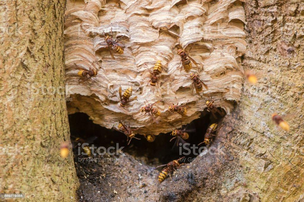 European hornets (Vespa crabro) around nest in tree stock photo