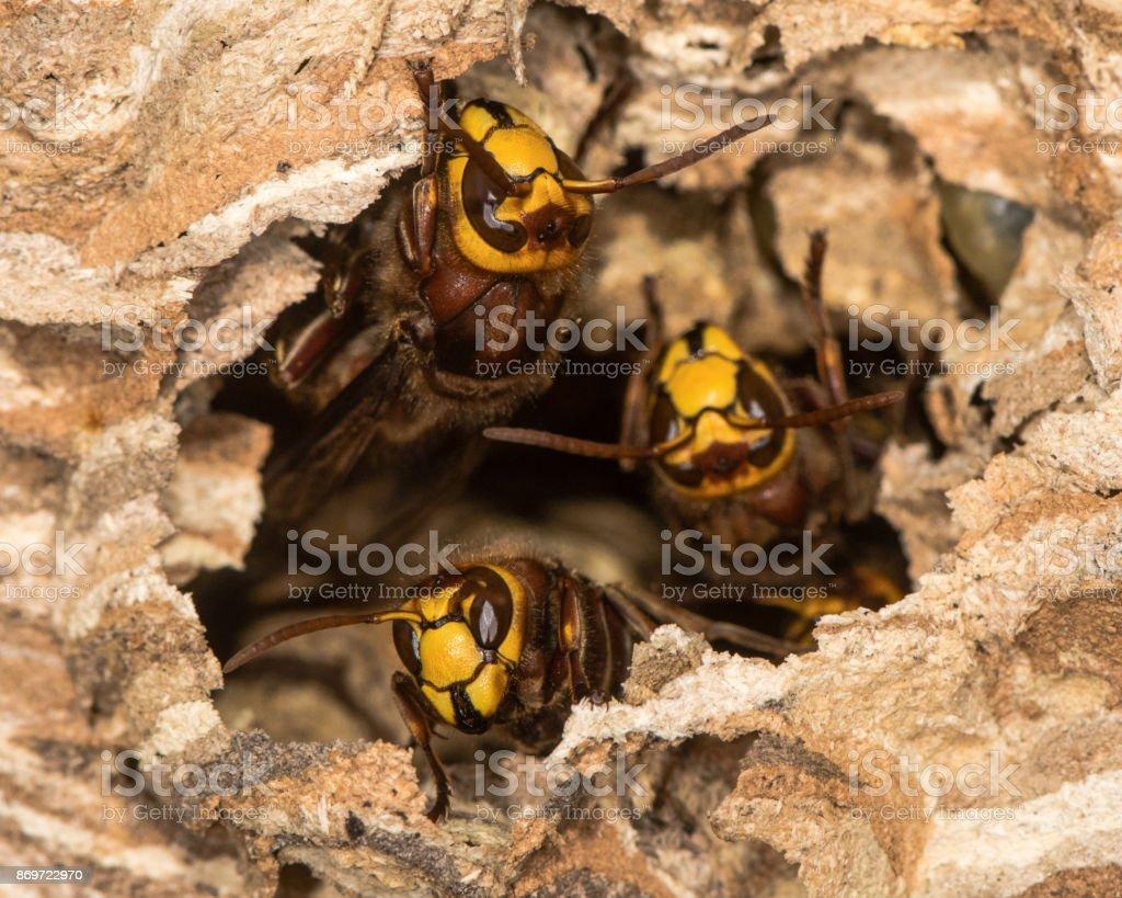 European hornets (Vespa crabro) defending hole in nest stock photo