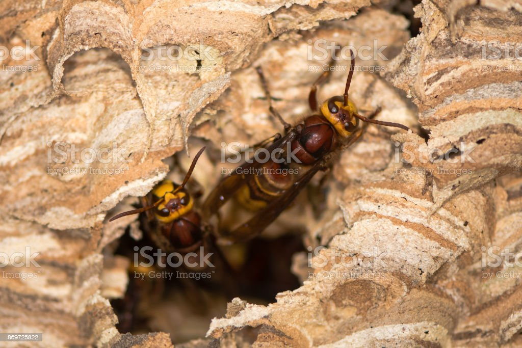 European hornets (Vespa crabro) emerging from hole in nest stock photo
