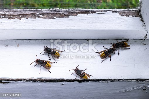 972704120istockphoto European hornets 1171760299