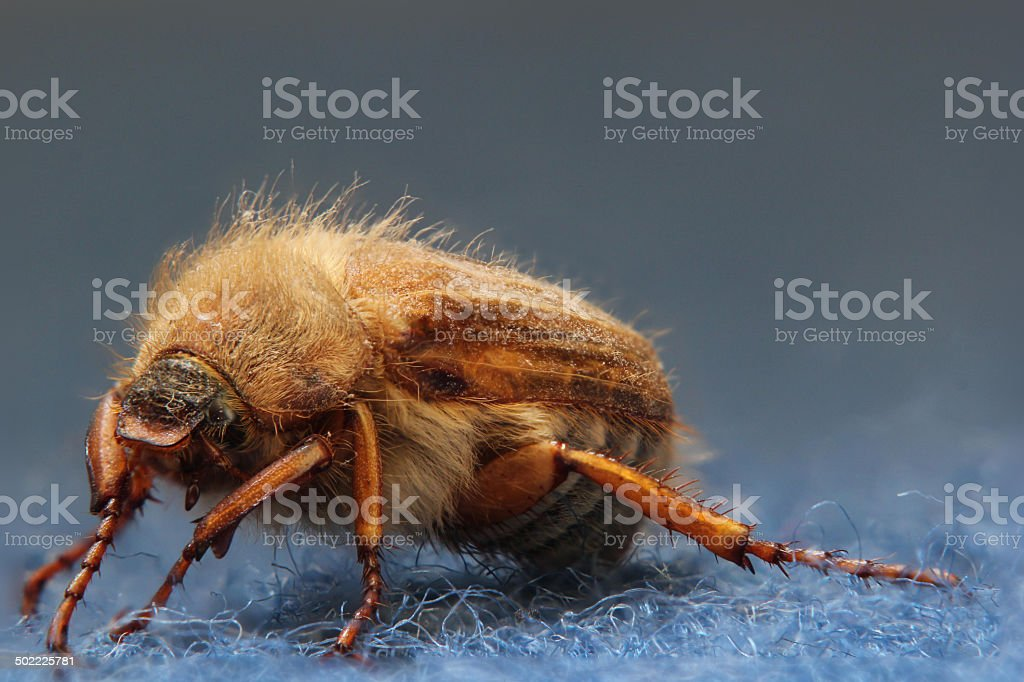 European June Beetle stock photo