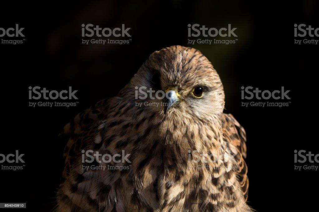 European Kestrel (falco tinnunculus) Portrait with black background stock photo