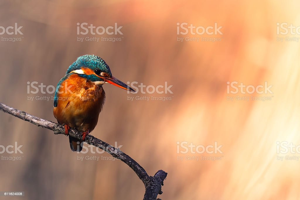 European kingfisher perched on a branch - foto de acervo
