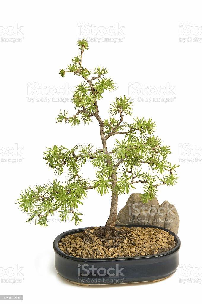 European larch - bonsai isolated on white background royalty-free stock photo