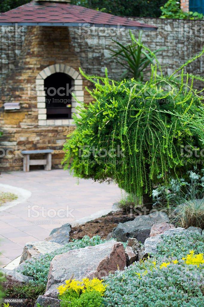 European larch in the garden of summer cottage - foto de stock