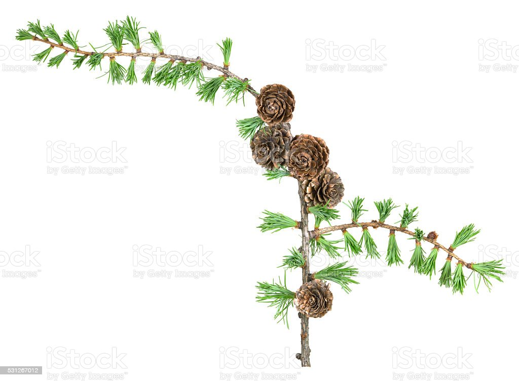 European larch twig, Larix decidua isolated on white background stock photo