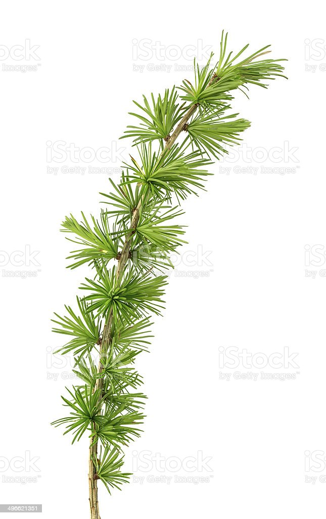 European larch twig, Latrix decidua isolated on white background stock photo