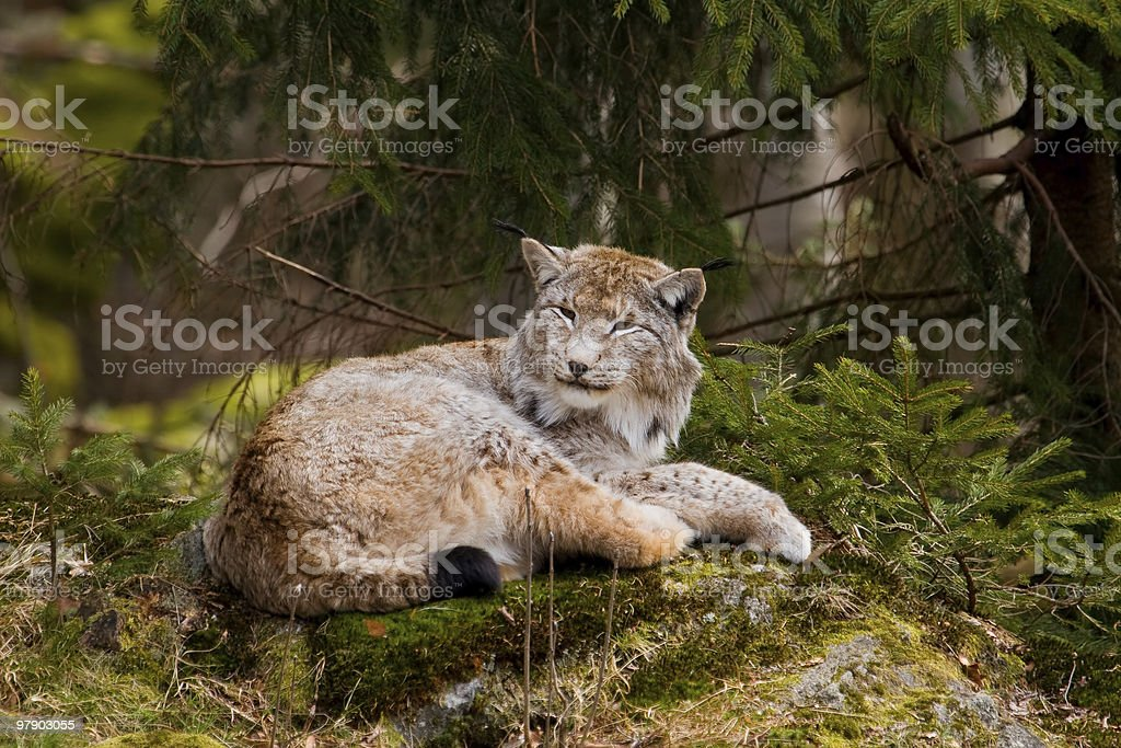 European Lynx royalty-free stock photo