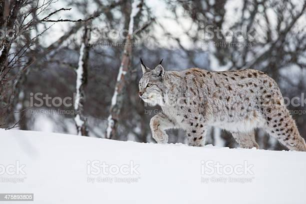 European lynx walking in the snow picture id475893805?b=1&k=6&m=475893805&s=612x612&h=l0getrc6icpvnav46xb0y7dcr7gbzsv7awwi8ugeows=