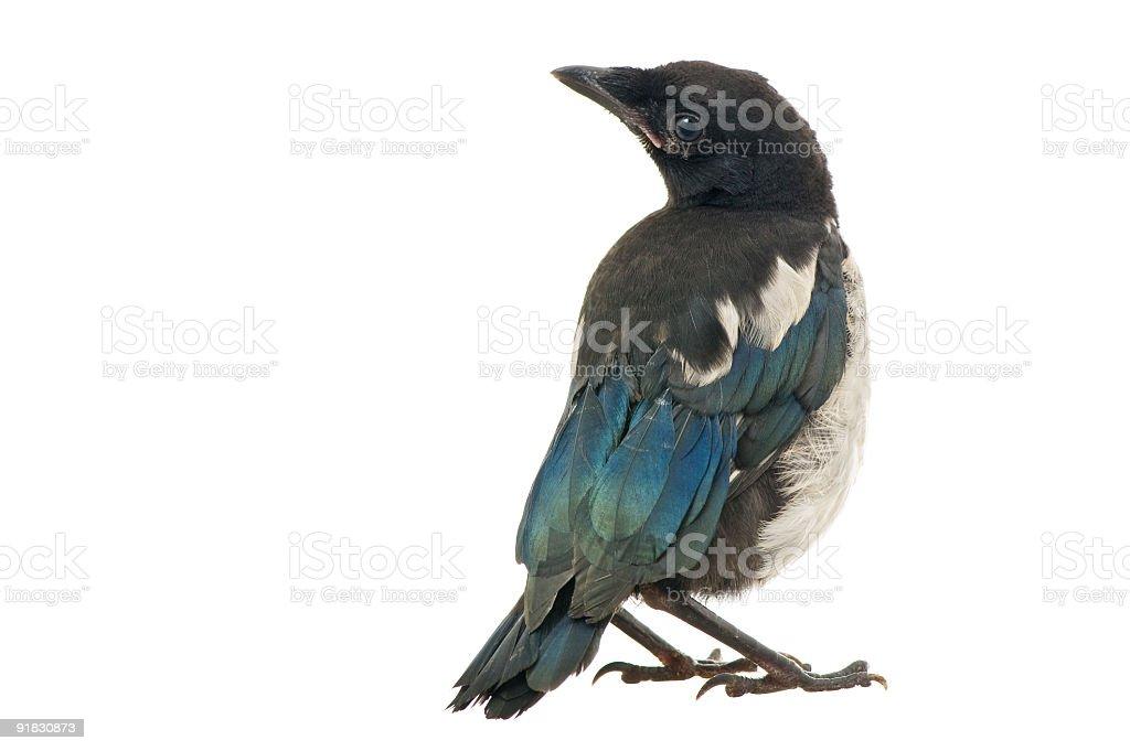 European Magpie stock photo