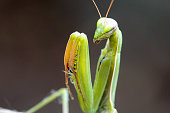 The common name of this insect is Praying Mantis, which is derived from the posture of the first pair of legs.