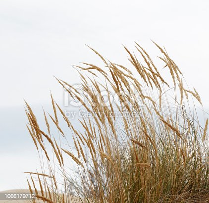 istock European Marram Grass (Ammophila arenaria) 1066179712