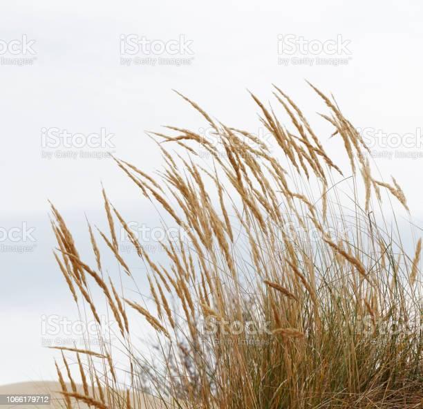 Photo of European Marram Grass (Ammophila arenaria)