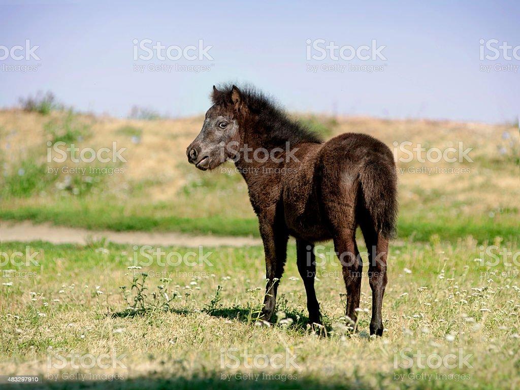 European Miniature horse portrait in summer meadow stock photo