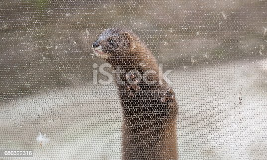European mink, Mustela lutreola, looking through the grid of his cage