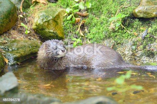 Names: European mink, Russian mink