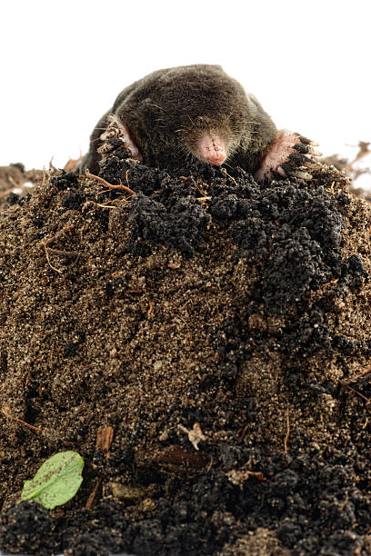 European Mole (Talpa europaea) on a Molehill black Mole (Talpa europaea)  on a Molehill at white background mole animal stock pictures, royalty-free photos & images