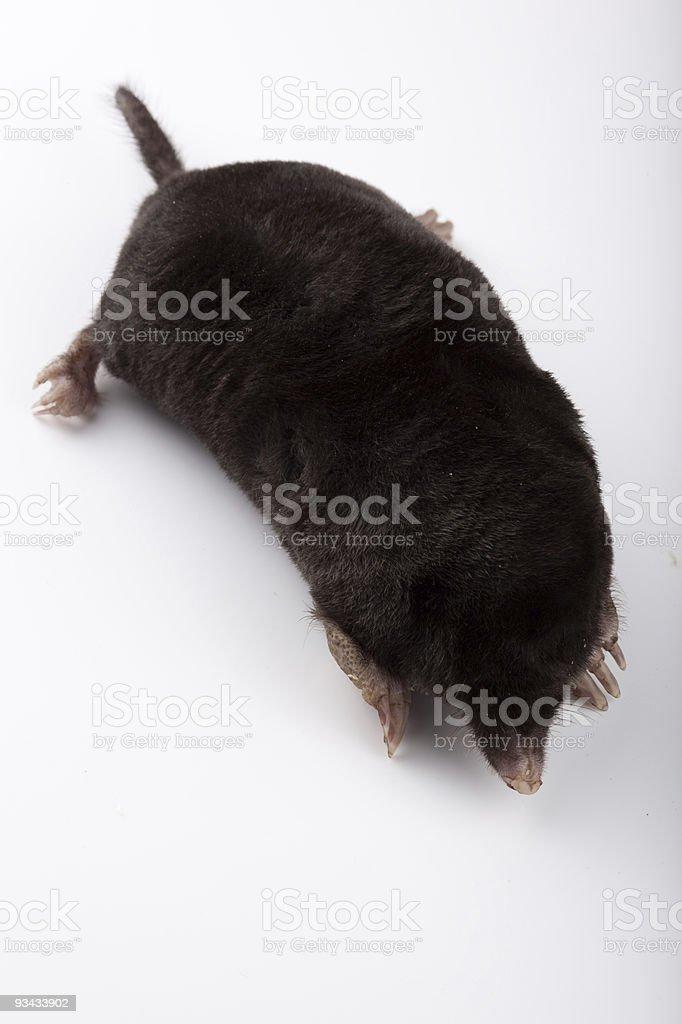 Europäische Mole (schwarze europaea) Lizenzfreies stock-foto