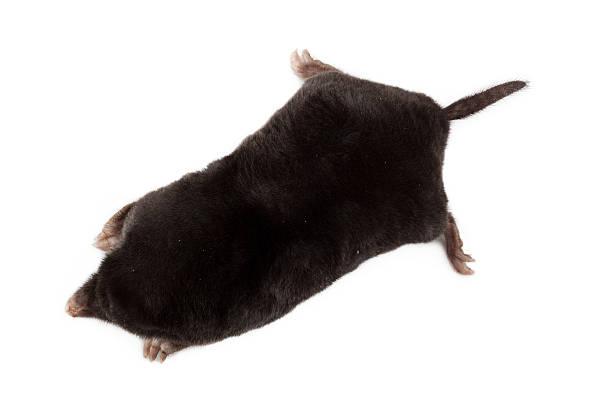 European Mole (Talpa europaea)  mole animal stock pictures, royalty-free photos & images