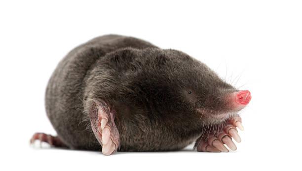 European Mole, Talpa europaea, against white background European Mole, Talpa europaea, against white background mole animal stock pictures, royalty-free photos & images