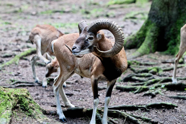 european mouflon, ovis orientalis musimon. wildtiere. - steinbock mann stock-fotos und bilder