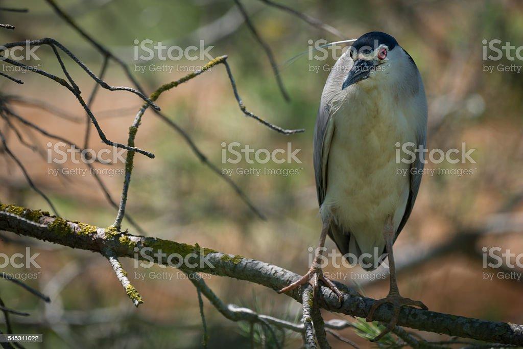 European Night Heron Close Up stock photo