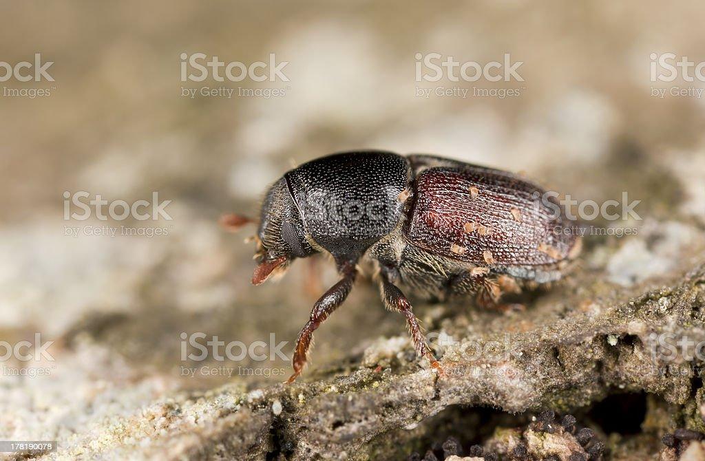 European oak bark beetle, Scolytus intricatus, extreme close-up stock photo