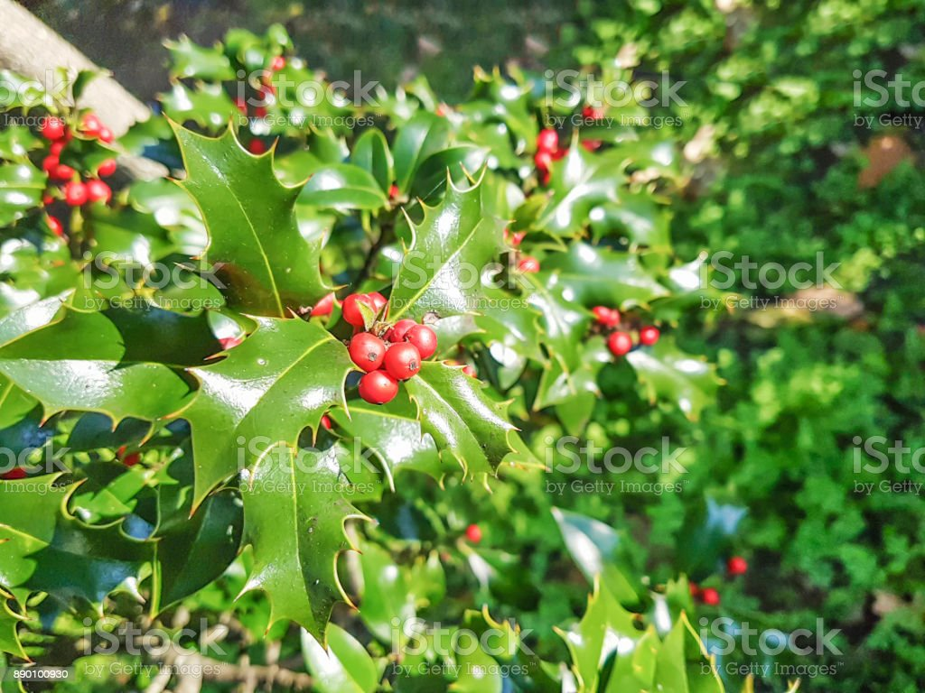 European or christmas holly stock photo