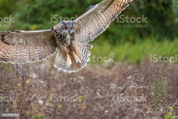 European or eurasian eagle owl bubo bubo wings spread in flight picture id642055050?b=1&k=6&m=642055050&s=612x612&h=ufrn3q5hifepu9onwlsxmw505poijs2wq8hrhkbyuvy=