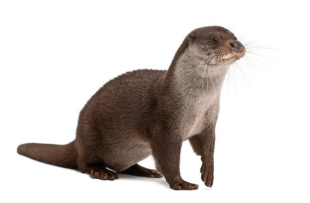 European Otter, Lutra lutra, 6 years old, against white background stock photo