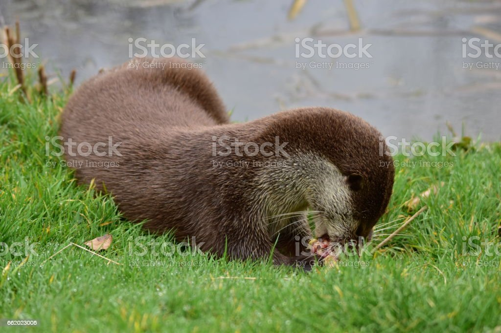 European Otter royalty-free stock photo