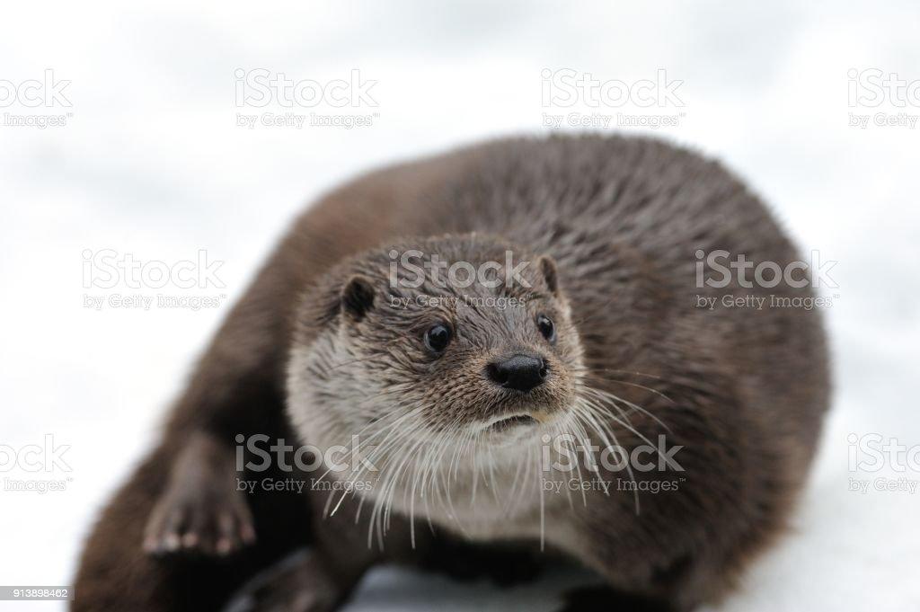 European otter (Lutra lutra) stock photo