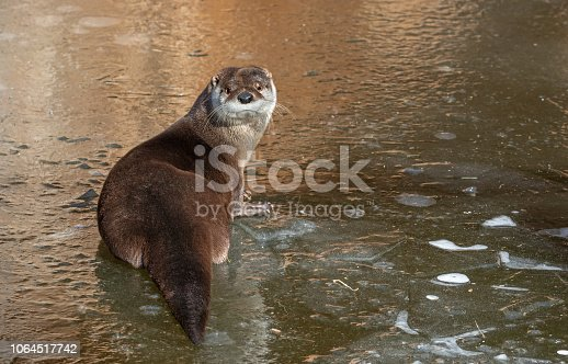 Eurasian otter (Lutra lutra) resting on a frozen creek.