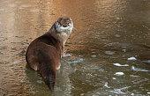 Eurasian otter (Lutra lutra) resting on a frozen creek.