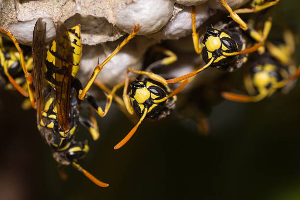 european paper wasp, Polistes dominula Macro photograph of a european paper wasp, Polistes dominula, in its nest alas stock pictures, royalty-free photos & images