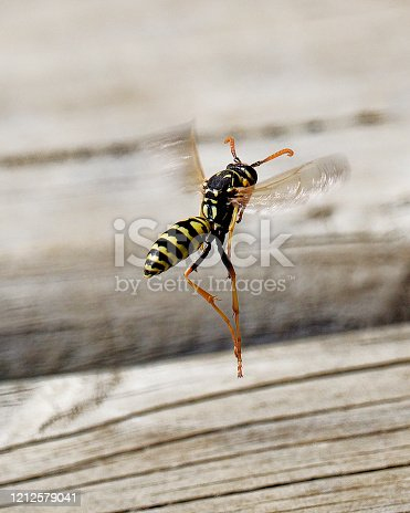A European Paper Wasp worker (Polistes dominula), originally a European species introduced to Chile at least 20 years ago and now common, returning to its nest after scraping fragments of wood from decking planks in order to make paper for its colonial nest. The trailing hind legs in flight distinguish it from many other species of wasp.