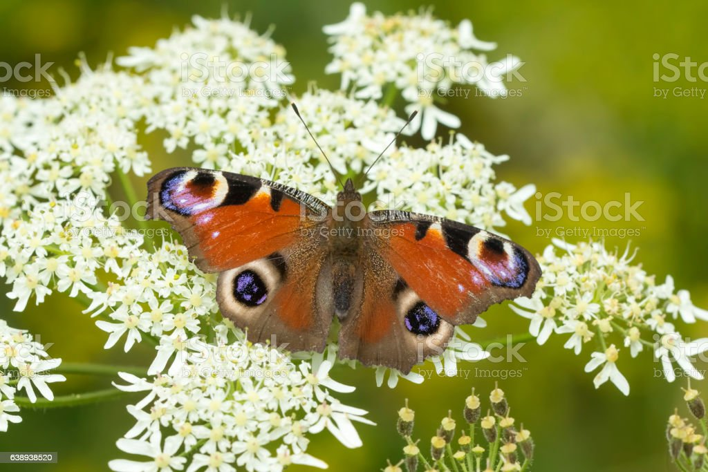 European Peacock butterfly Aglais io feeding stock photo