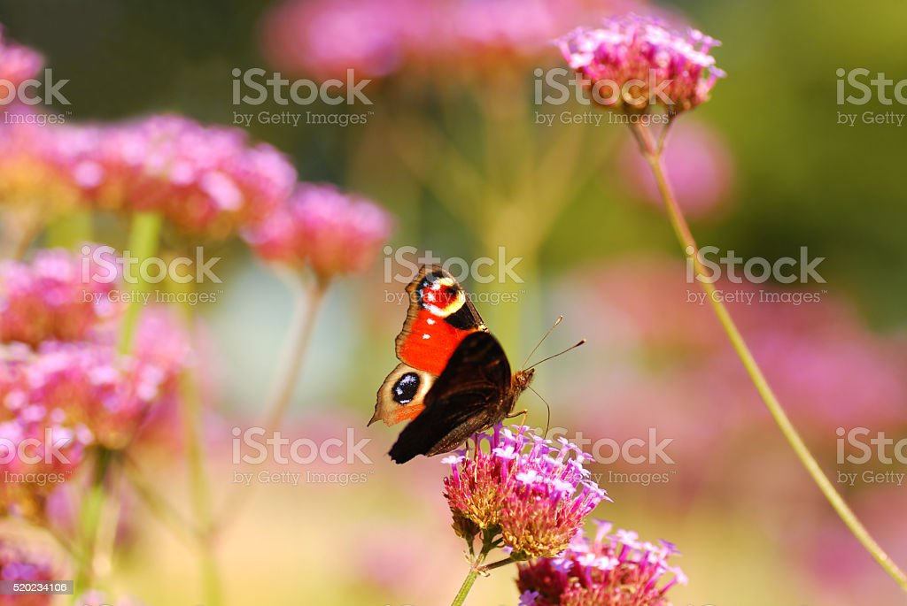 European peacock butterfly eating from Verbena flower. stock photo
