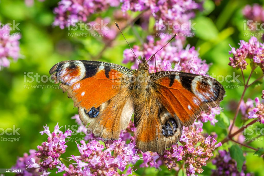 European peacock butterfly foraging on a flower stock photo
