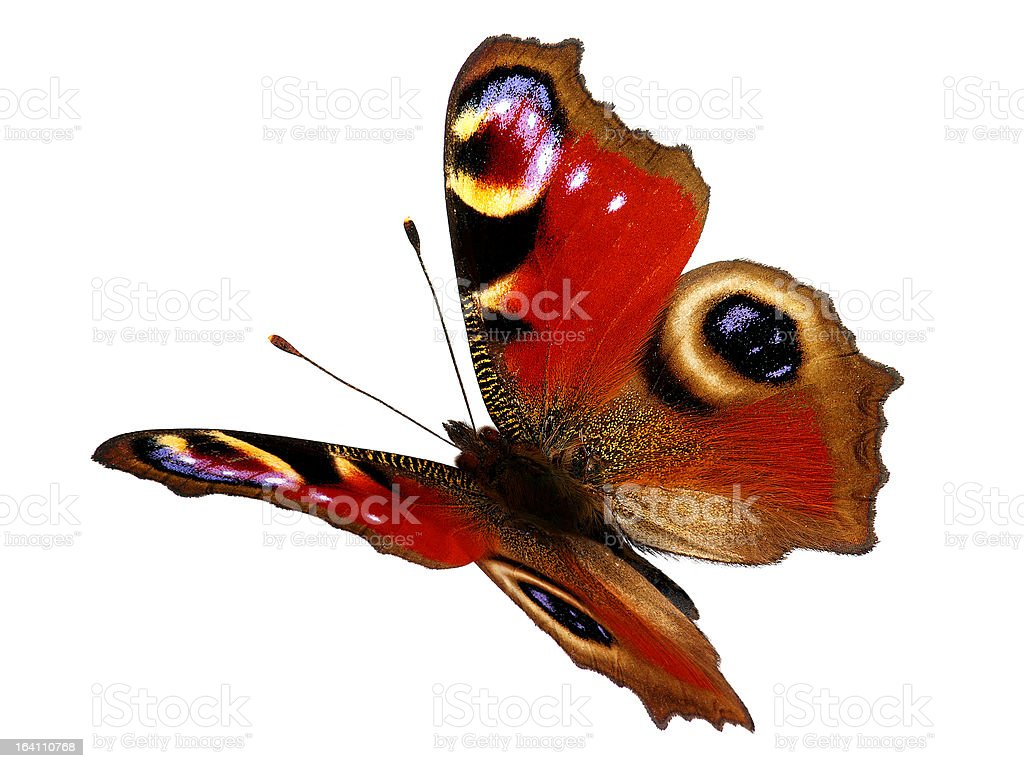 European Peacock butterfly (Inachis io) in flight stock photo