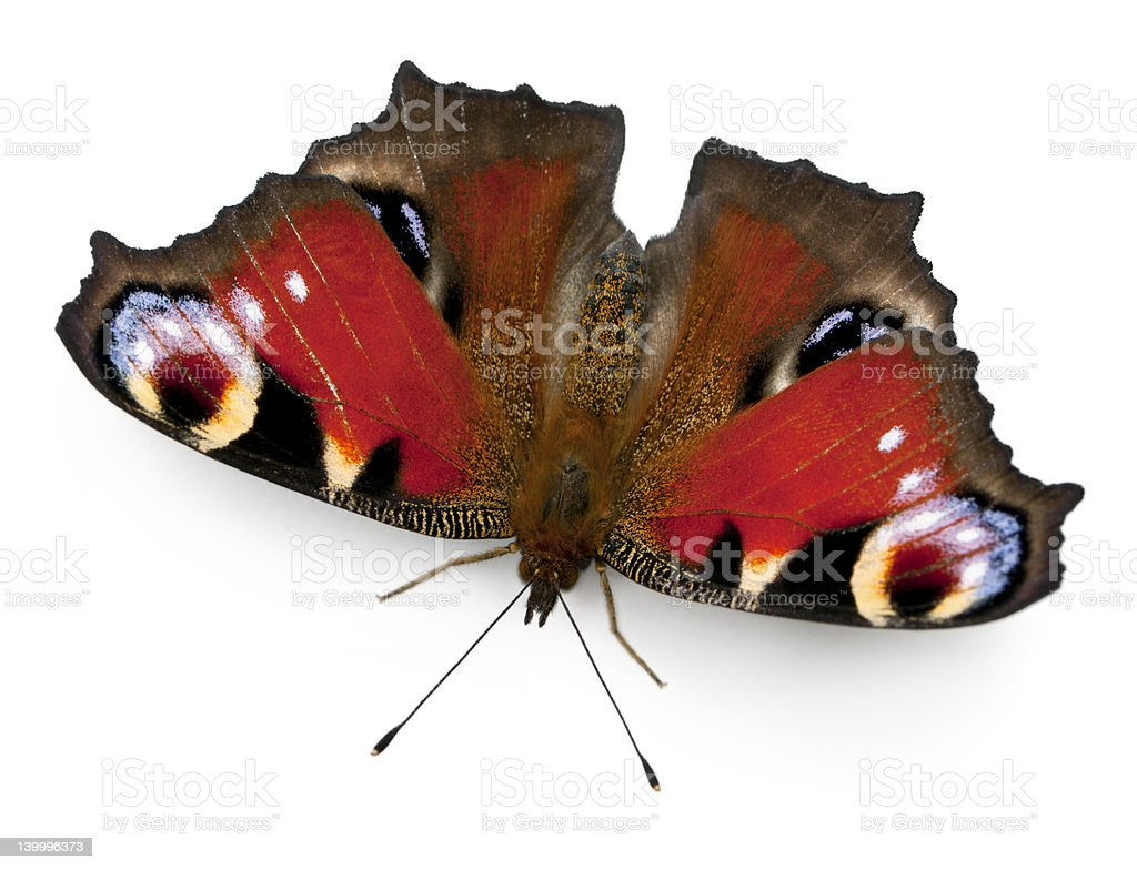 European Peacock butterfly, Inachis io, in front of white background stock photo