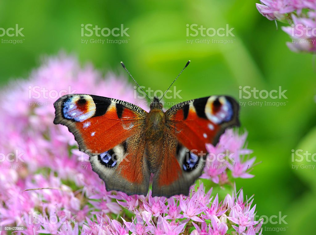 European Peacock (Inachis-io) butterfly on a pink flower stock photo
