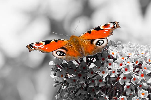 European peacock butterfly on buddleia flower picture id597963736?b=1&k=6&m=597963736&s=612x612&w=0&h=ofiga4 lk dbklv393ykwgtgj5bisbhodbnicnkvqwo=