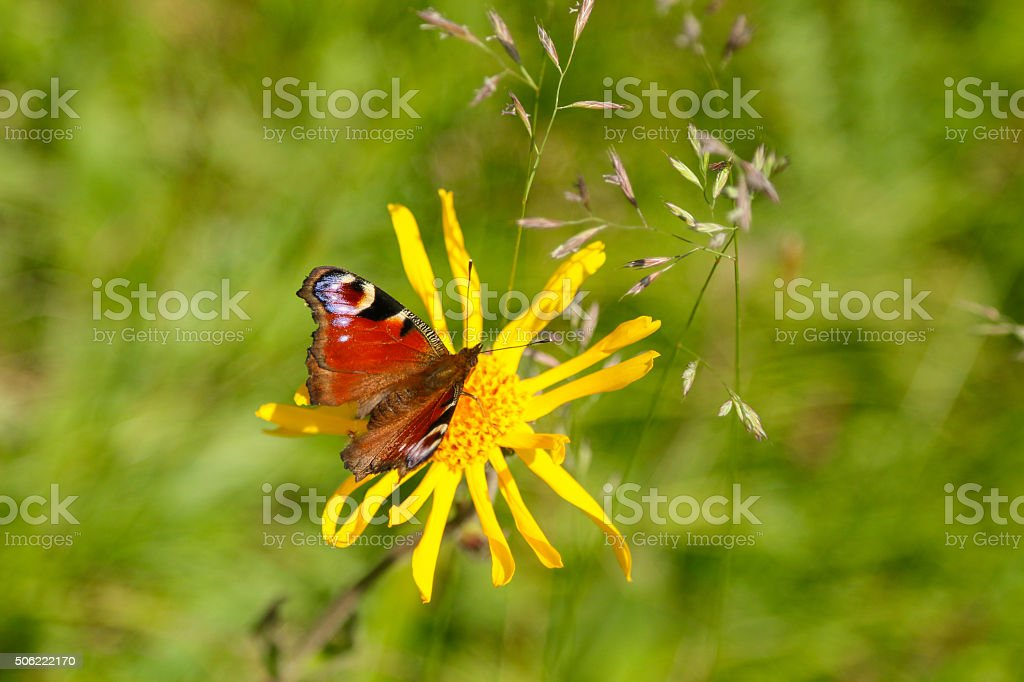 European Peacock Butterfly perching on yellow Arnica flower stock photo