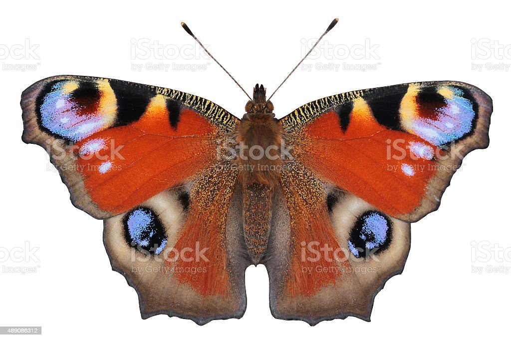 European Peacock butterfly (Inachis io) stock photo