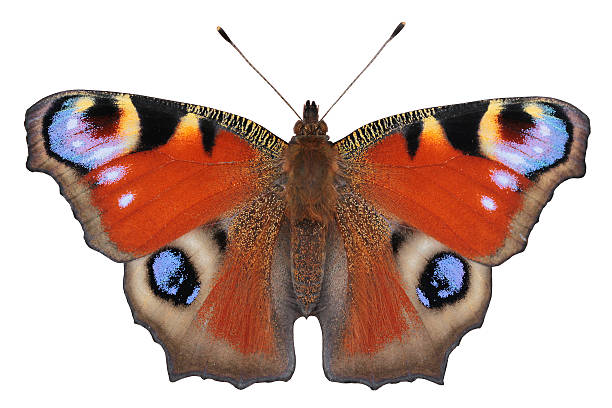 European Peacock butterfly (Inachis io) European Peacock butterfly (Inachis io) tree hugging stock pictures, royalty-free photos & images