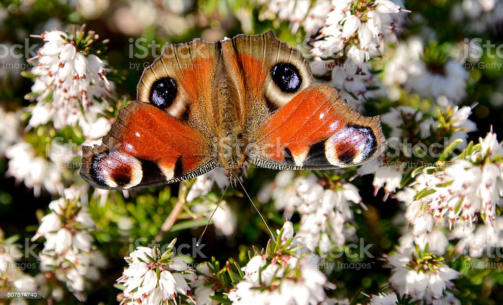 European Peacock butterfly stock photo