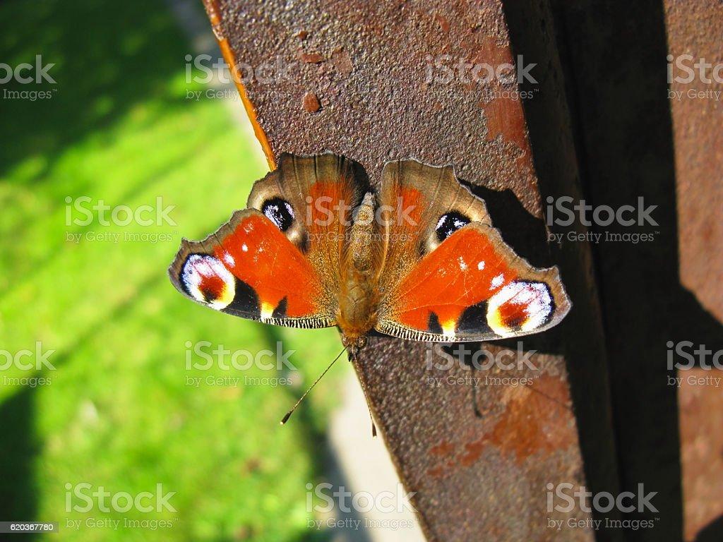 European Peacock butterfly rests in sunshine zbiór zdjęć royalty-free